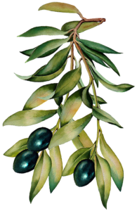 Olives on an Olive Tree Branch